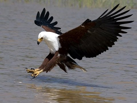 African wildlife 02 – fish eagle – نسر السمك