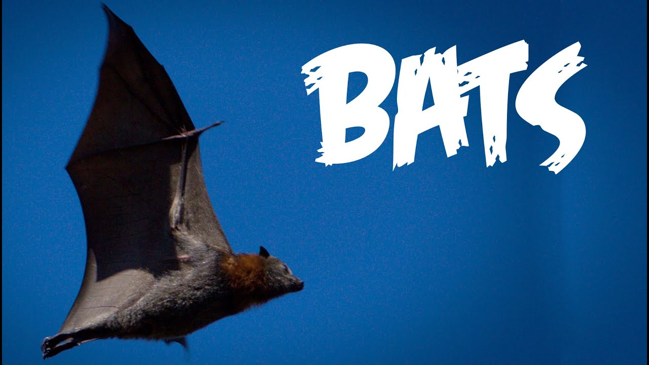 Photo of All About Bats for Kids: Animal Videos for Children – FreeSchool