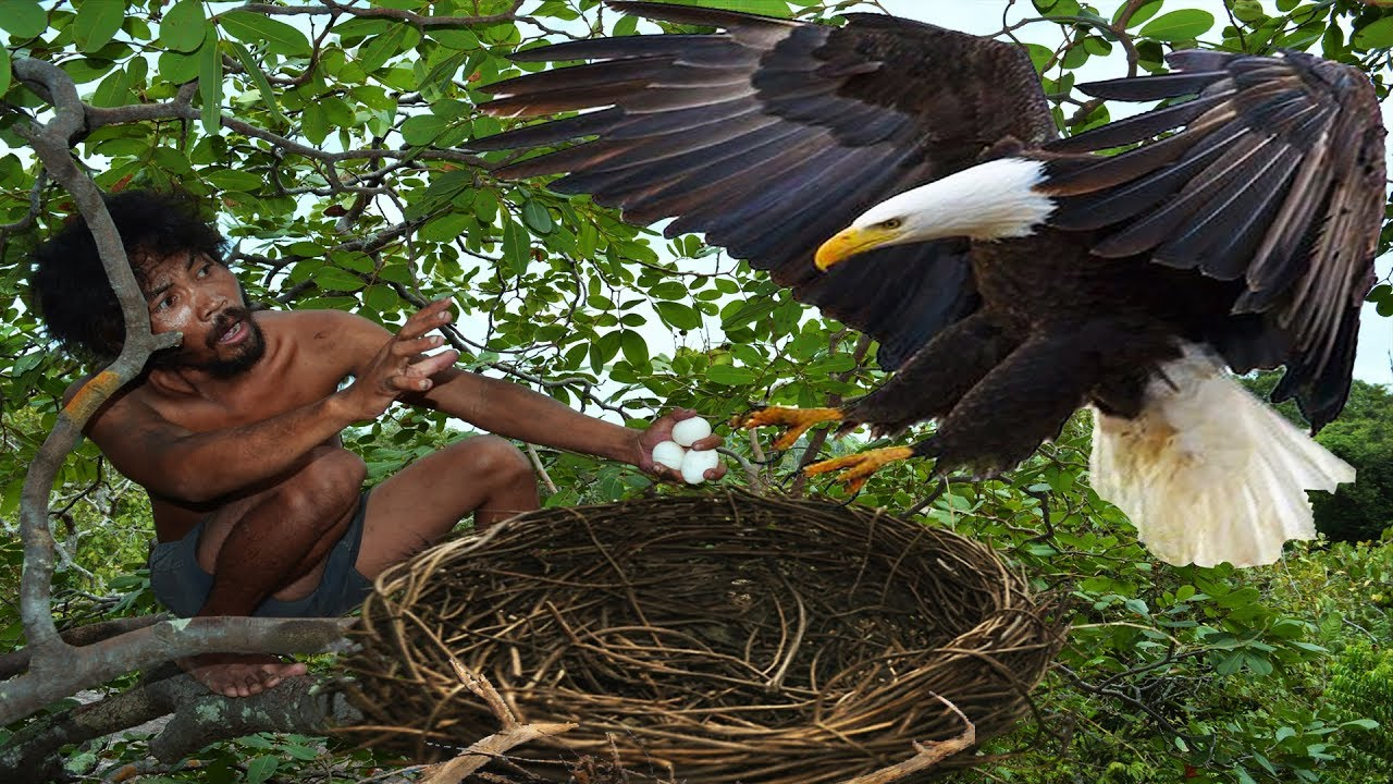 Photo of A forest man found a eagle nest on the higher tree – steal eagle eggs and cooked in mountain hole