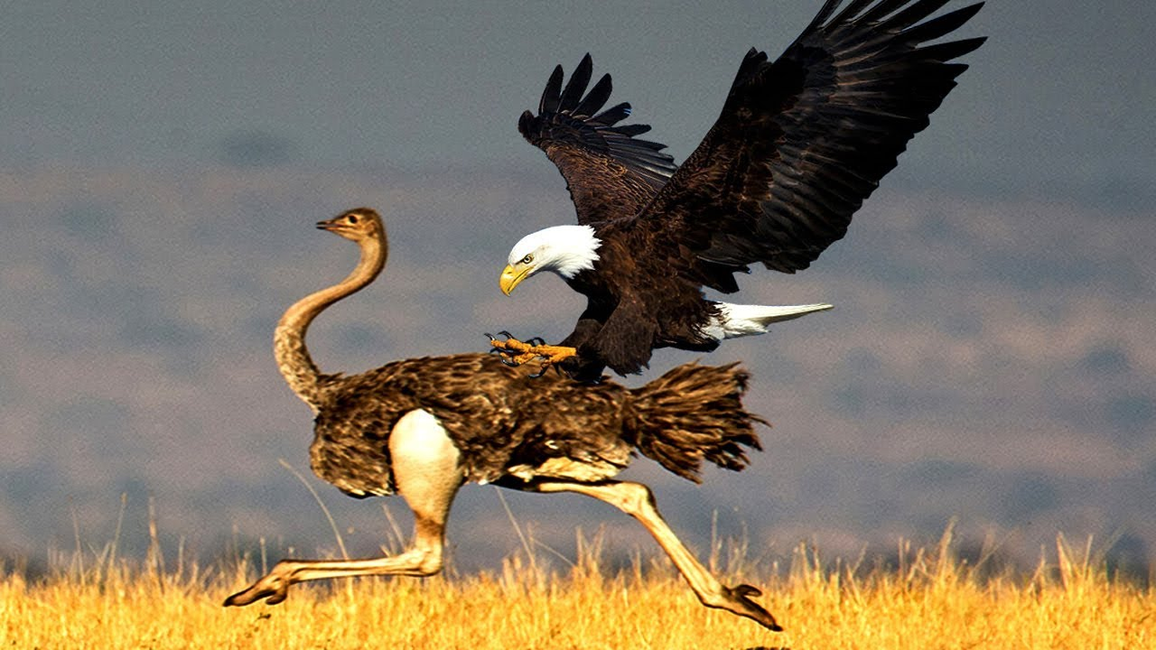 Photo of Most Amazing Wild Animals Attacks  Eagle attacks Compilation