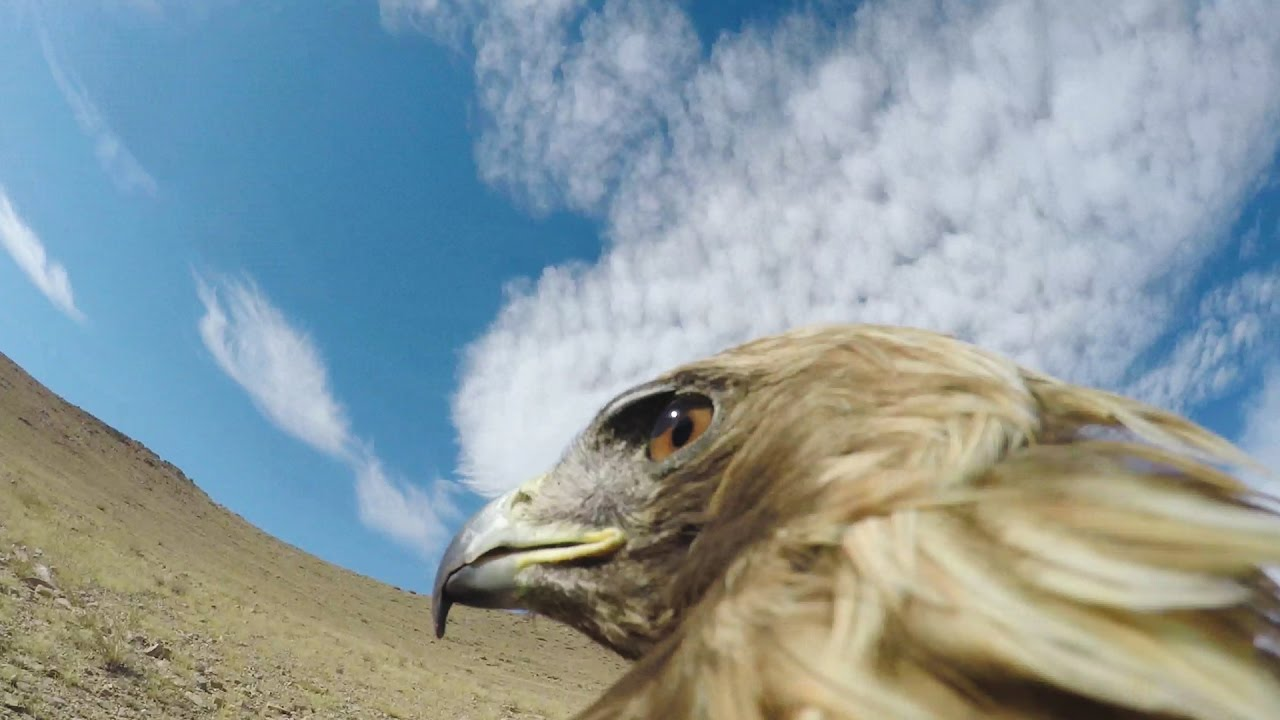 Photo of GoPro: Hunting a Fox From an Eagle's POV