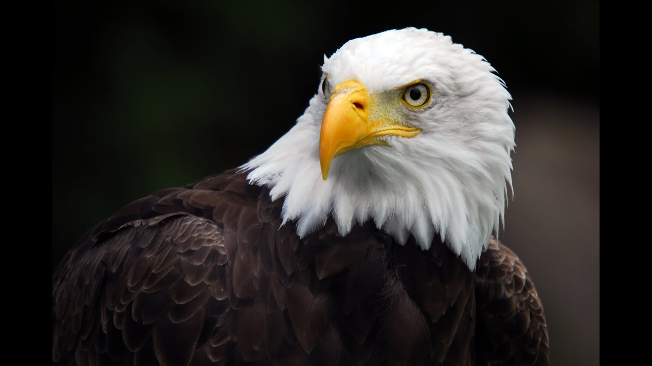 Photo of American Eagle – Nature Documentary (HD)