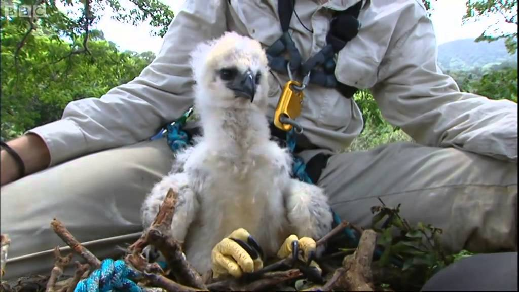 Photo of Inside a Harpy Eagle Nest | Ultimate Killers | BBC