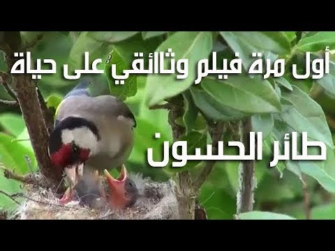 Photo of شاهد أول مرة فيلم وثائقي على طائر الحسون The first time a documentary film on a goldfinch
