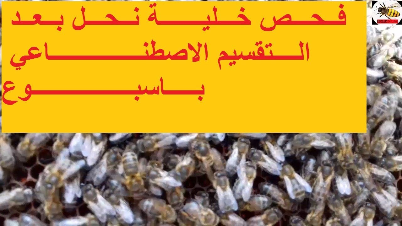 Photo of فحص خلية نحل مقسمة منذ أسبوع handle a bee hive after a week