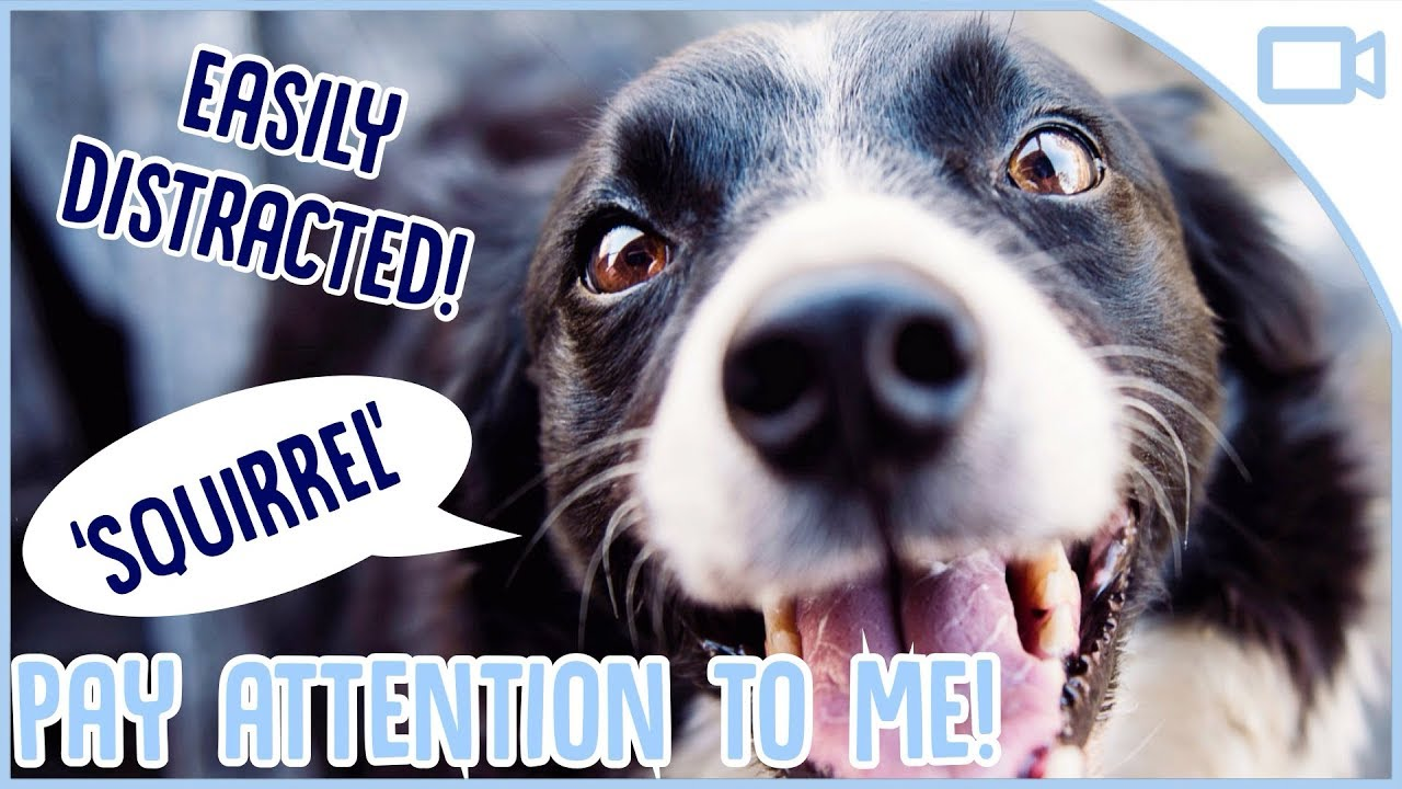 Photo of How to Train Your Dog to Pay Attention!