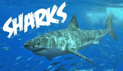 All About Sharks for Children: Animal Videos for Kids – FreeSchool