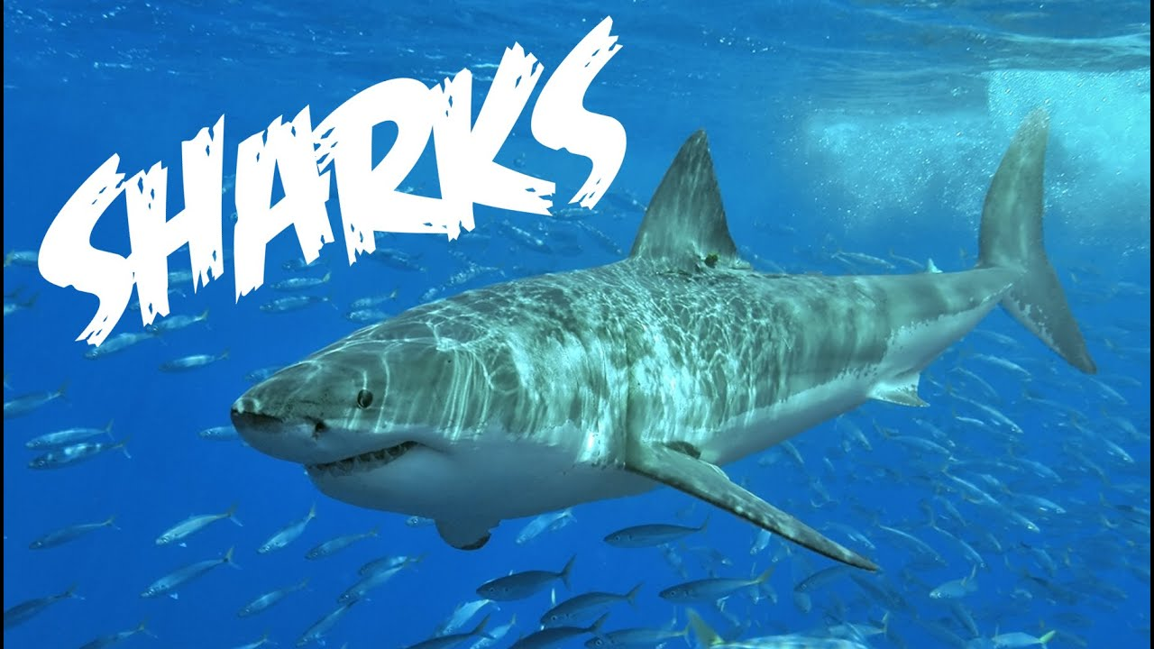 Photo of All About Sharks for Children: Animal Videos for Kids – FreeSchool