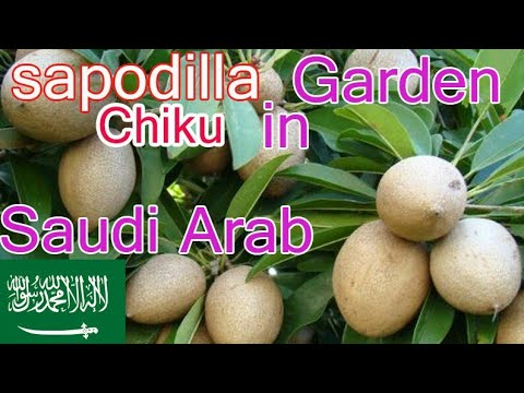 Photo of sapodilla chiku orchard in Saudi Arabia successful fruiting|حديقة سابوديلا في السعودية |चीकू|