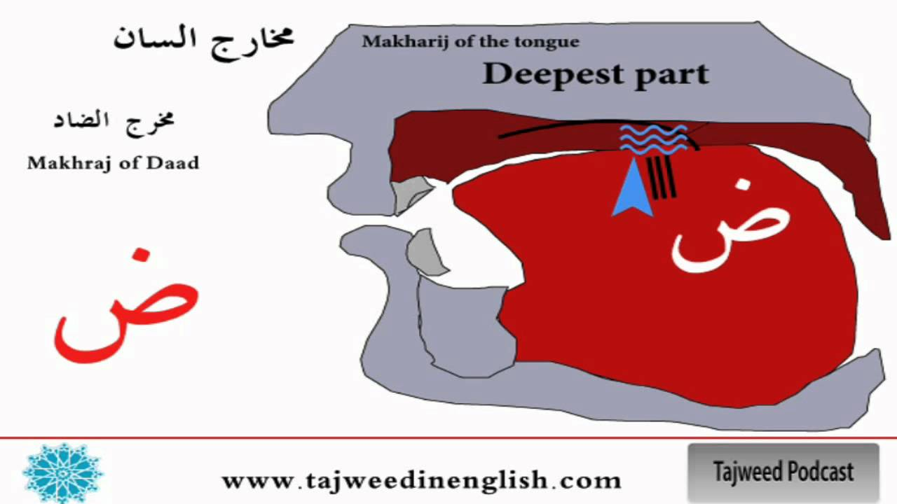 Photo of Tajweed lesson 9: The tongue makhraj ( ض )