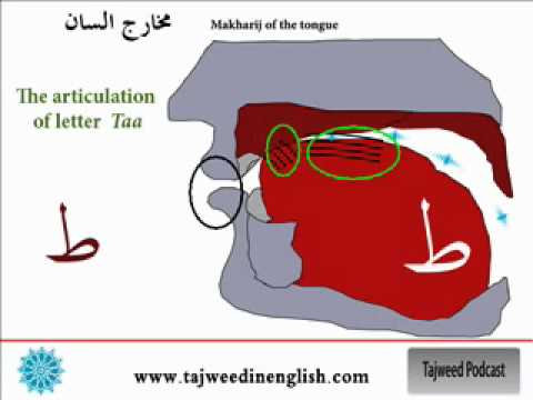 Photo of 13/16 Tajweed in English –  The tongue makhraj (  – ط – د – ت )